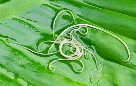 Существует несколько видов червей, которые распространены в нашей стране, вывести из организма человека их можно только с помощью медикаментозного лечения